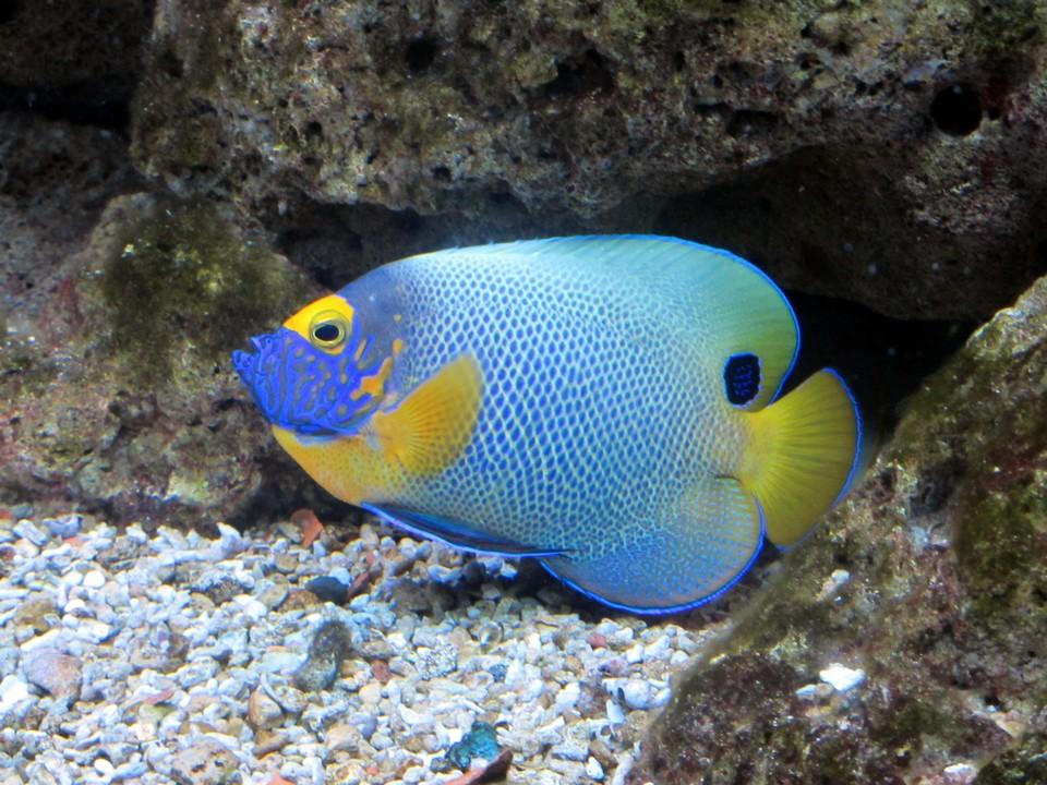 Un esemplare di euxiphipops xanthometapon (nome comune: pesce angelo dalla faccia blu) fotografato all'acquario comunale di Siracusa.