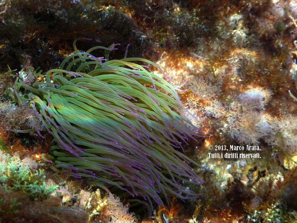 L'eleganza dell'anemone di mare (Anemonia sulcata) che distende i suoi tentacoli al movimento dell'acqua è in grado di ipnotizzare l'osservatore subacqueo che potrebbe osservarlo rapito per ore. Luogo di immersione: Punta Barcarello (Palermo). Data di scatto: 19/10/2013.