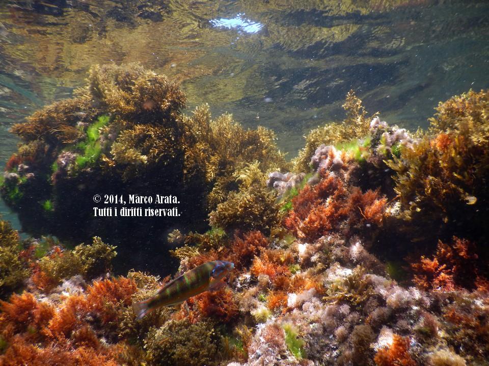 Uno spaccato di vita del reef in questo scatto effettuato a Barcarello, all'interno dell'Area Marina Protetta di Capo Gallo - Isola delle Femmine. In primo piano un'esemplare femmina di donzella pavonina sfoggia la sua coloratissima livrea davanti all'obiettivo senza particolari timori, assecondando l'innata curiosità che contraddstingue questa specie molto diffusa nel Mediterraneo meridionale. Sembra un acquario ma è il mare a due passi da casa mia. Data di scatto: 21/06/2014  Luogo di immersione: Lungomare Barcarello, Area Marina Protetta di Capo Gallo - Isola delle Femmine (Palermo, Sicilia, Italy).