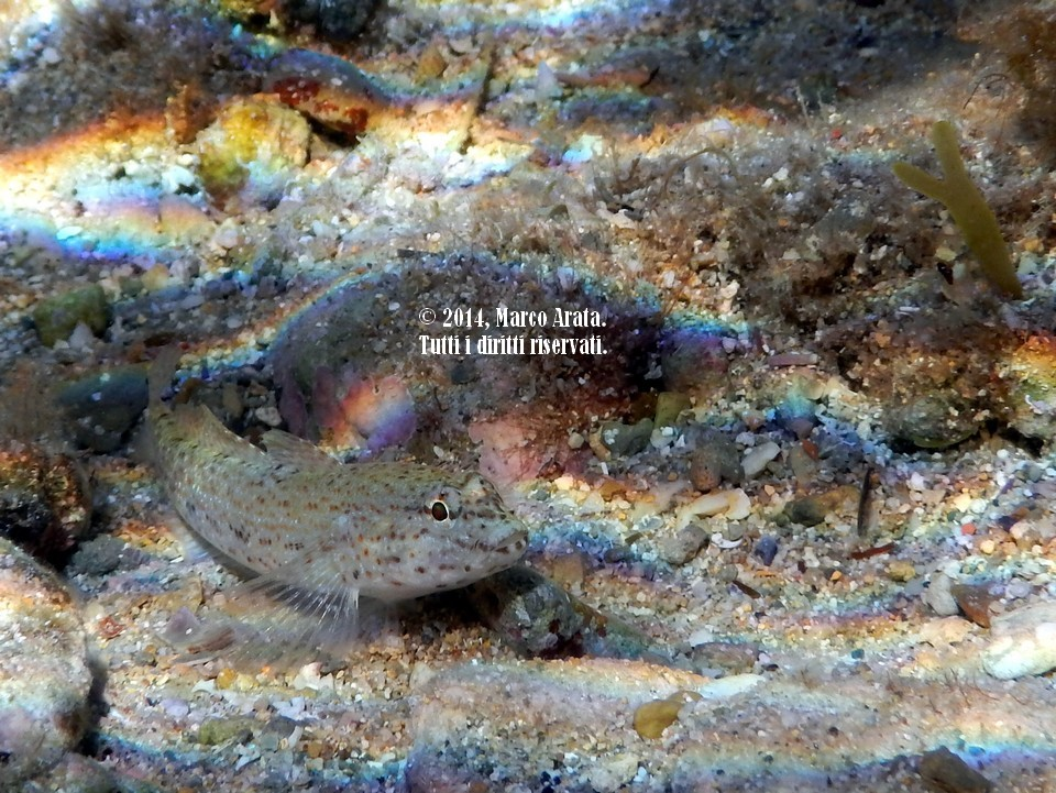 Un primo piano di un curioso esemplare di ghiosso rasposo (Gobius bucchichi) conosciuto anche come ghiozzo di sabbia in quanto predilige come habitat i fondali sabbiosi in presenza di praterie di poseidonia. Spesso lo si può trovare nei pressi dei tentacoli di Anemonia sulcata in quanto ne è immune al veleno. E' presente nel Mar Mediterraneo e nell'Oceano Atlantico a partire da pochi centimetri d'acqua fino a profondità di 30 metri. Data di scatto: 18/10/2014.