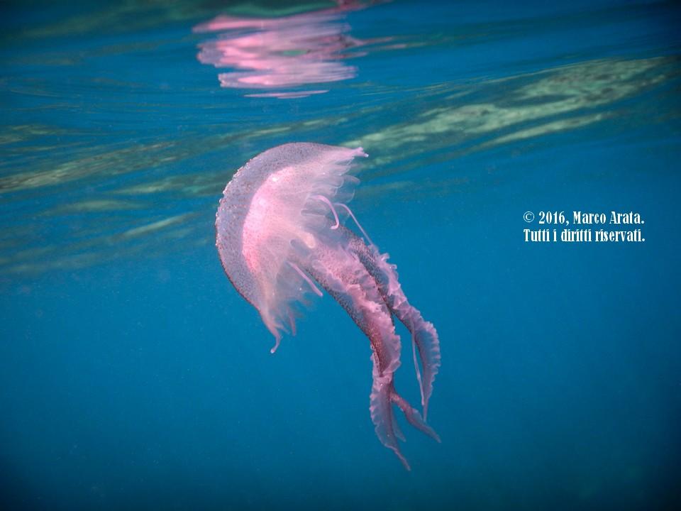 La leggiadria e la grazia dei movimenti di una medusa luminosa a pelo d'acqua. Location: Area Marina Protetta di Capo Gallo - Isola delle Femmine. Data di scatto: 18/08/2016.