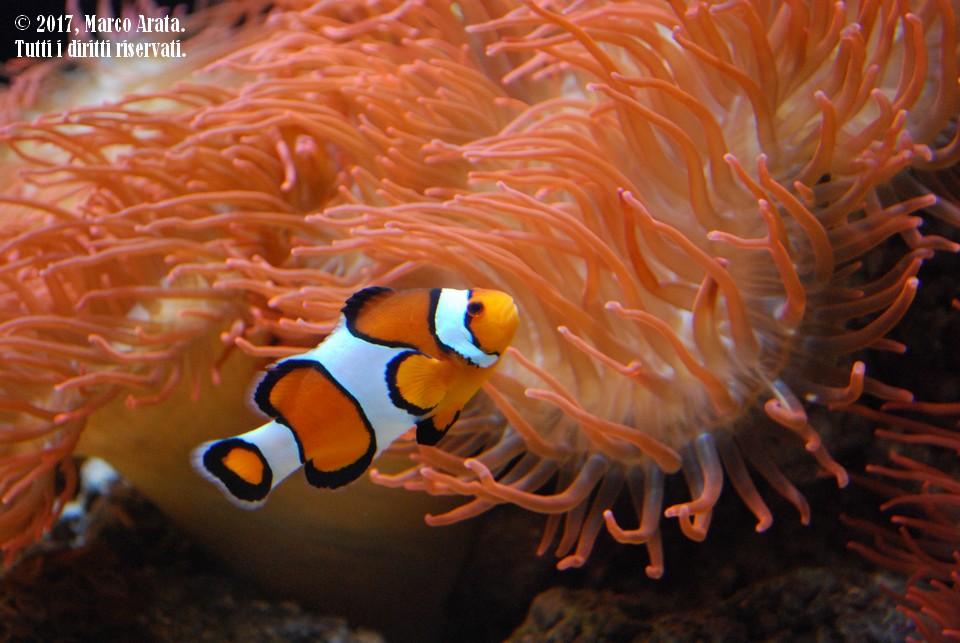 Un pesce pagliaccio insieme all'inseparabile anemone si presta a questo scatto pieno di colore. Location: Oceanario (Lisbona, Portogallo). Data di scatto:  05/09/2017.
